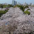 舞鶴公園の桜(16)