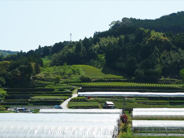黒木町の茶畑(2)