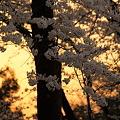 夕焼けと桜?