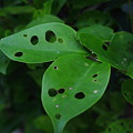 虫食い葉っぱ