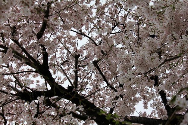 満開。少し葉桜