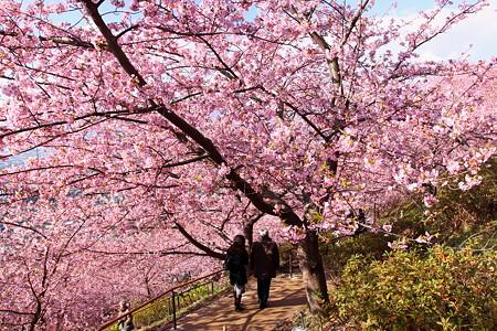 松田河津桜(1)
