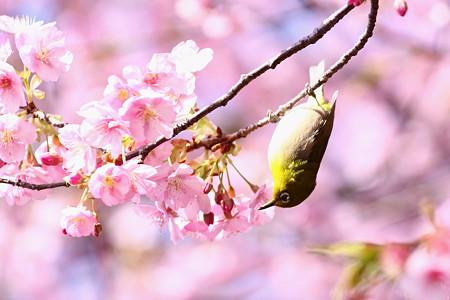 松田河津桜(6)