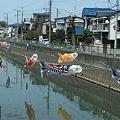 Photos: 鯉のぼりの遡上