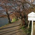 Photos: 110428桜のトンネル