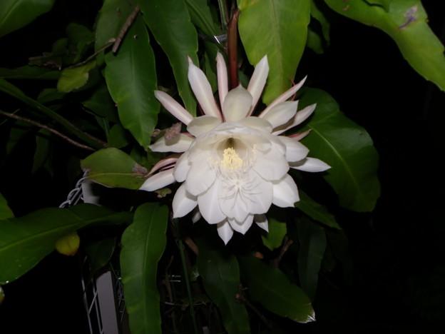 咲いた月下美人、七夕の夜