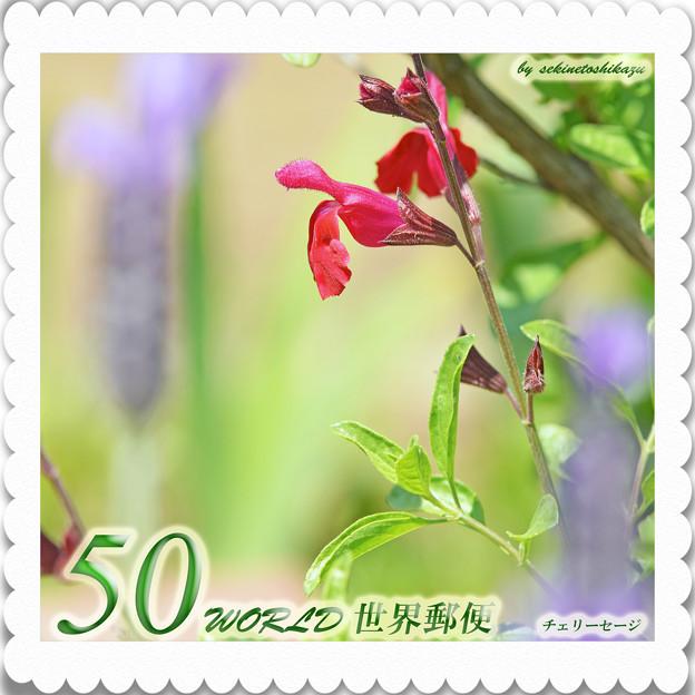 <花切手*チェリーセージ*春咲き>