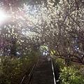 写真: 東戸塚の梅 03