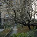 写真: 東戸塚の梅 04