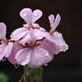 雫のピンクの花
