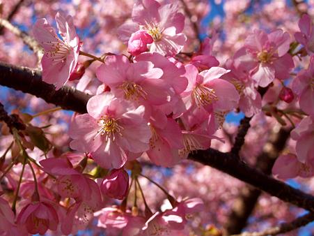 20100227kawatsu_sakura