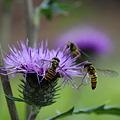 アザミに群がる蜂