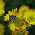 チョウと菊