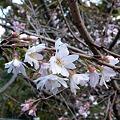 八重咲き2